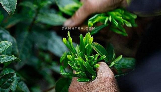 Trà Thái Nguyên đậm đà hương vị Việt - Ảnh 4.