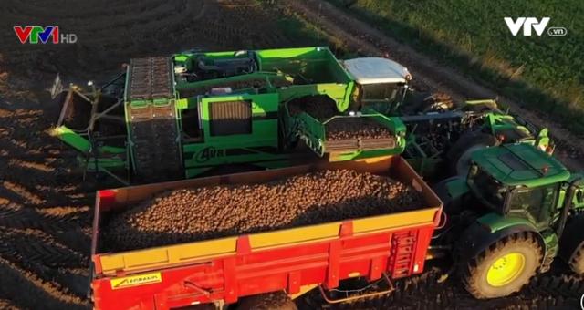 Nông dân Bỉ thu hoạch khoai tây muộn sau mùa hạn hán ngắn - Ảnh 1.