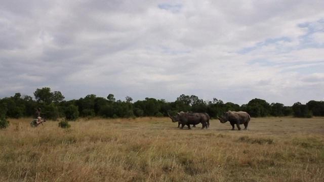 Chế tạo sừng tê giác giả để cứu tê giác thật - Ảnh 1.