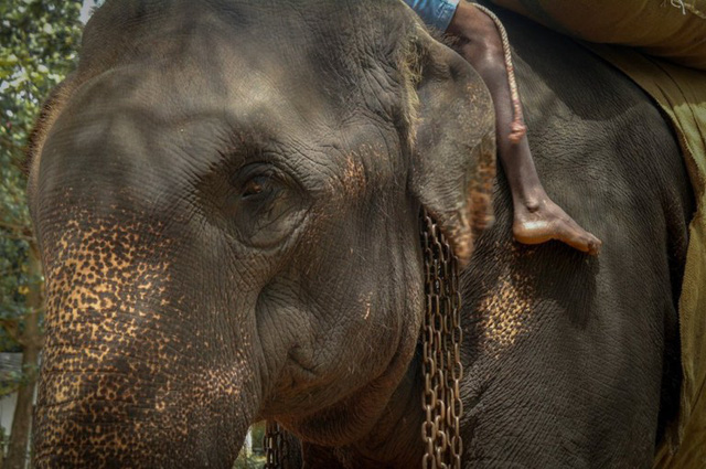 Voi Sri Lanka chết vì chở khách du lịch đến kiệt sức - Ảnh 2.