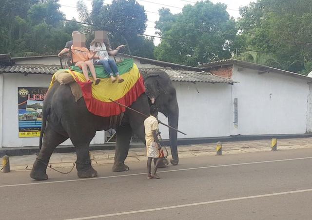 Voi Sri Lanka chết vì chở khách du lịch đến kiệt sức - Ảnh 3.