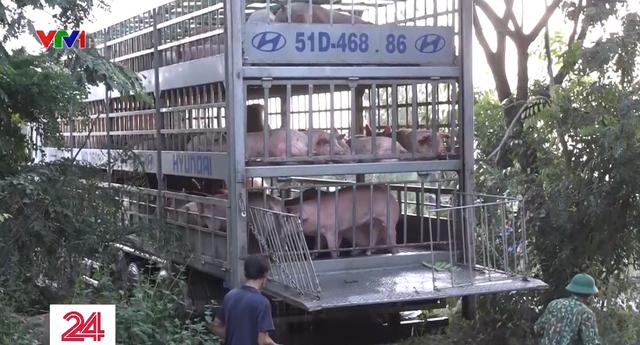 Long An tiêu hủy hàng trăm con lợn nhập lậu - Ảnh 1.