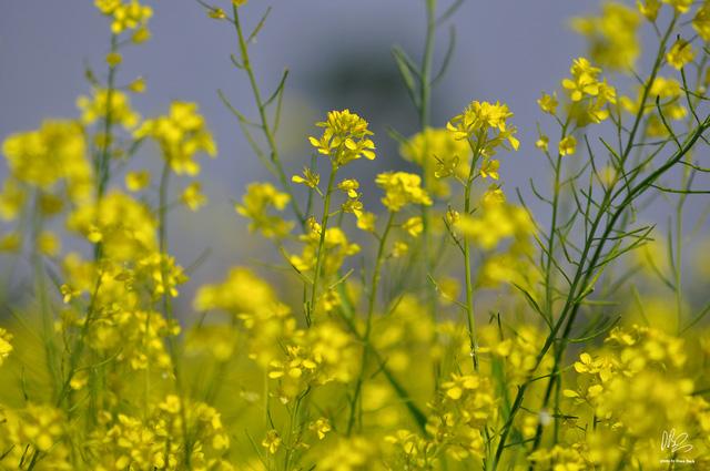 Ngắm cánh đồng hoa cải vàng nở rộ ở ngoại thành Hà Nội - Ảnh 1.