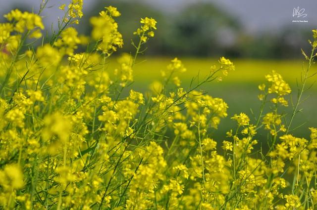 Ngắm cánh đồng hoa cải vàng nở rộ ở ngoại thành Hà Nội - Ảnh 2.