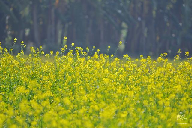 Ngắm cánh đồng hoa cải vàng nở rộ ở ngoại thành Hà Nội - Ảnh 3.