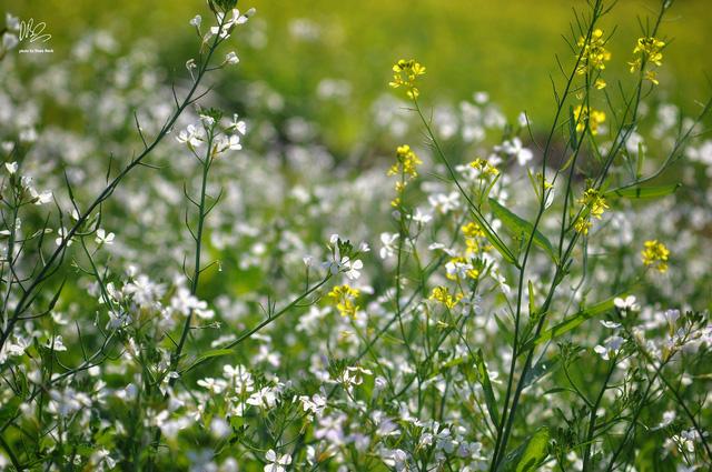 Ngắm cánh đồng hoa cải vàng nở rộ ở ngoại thành Hà Nội - Ảnh 4.