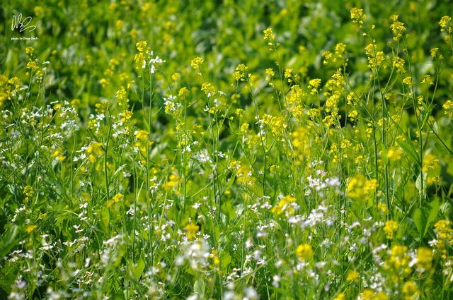 Ngắm cánh đồng hoa cải vàng nở rộ ở ngoại thành Hà Nội - Ảnh 5.