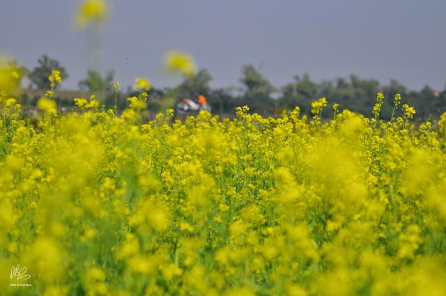 Ngắm cánh đồng hoa cải vàng nở rộ ở ngoại thành Hà Nội - Ảnh 6.