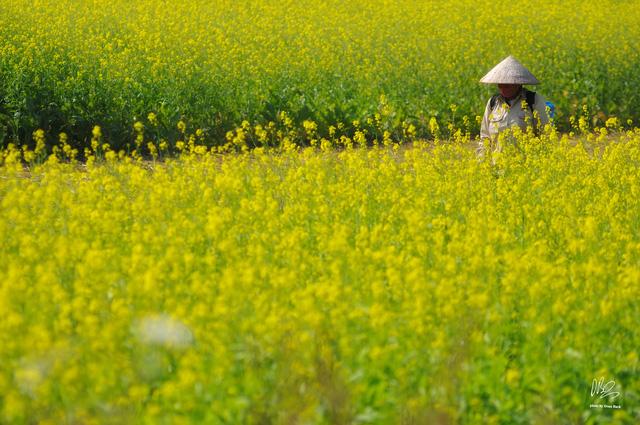 Ngắm cánh đồng hoa cải vàng nở rộ ở ngoại thành Hà Nội - Ảnh 7.