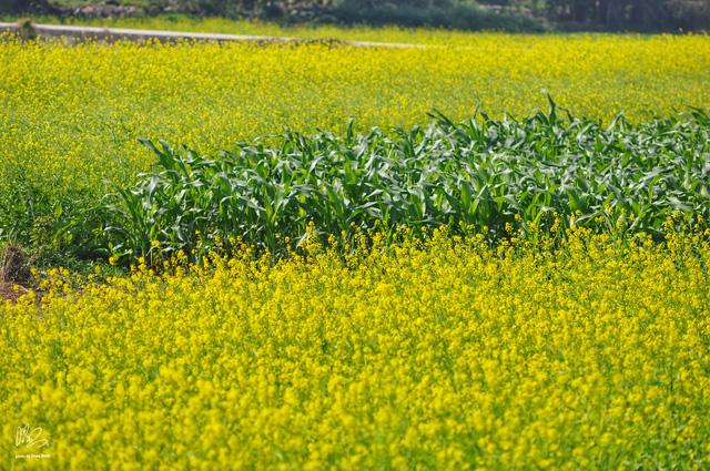 Ngắm cánh đồng hoa cải vàng nở rộ ở ngoại thành Hà Nội - Ảnh 8.