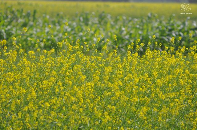 Ngắm cánh đồng hoa cải vàng nở rộ ở ngoại thành Hà Nội - Ảnh 9.