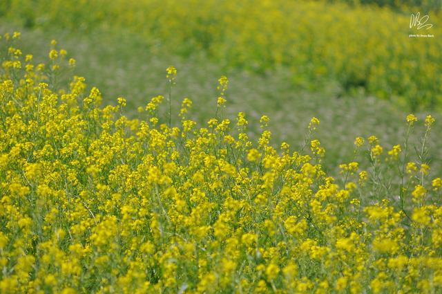 Ngắm cánh đồng hoa cải vàng nở rộ ở ngoại thành Hà Nội - Ảnh 10.