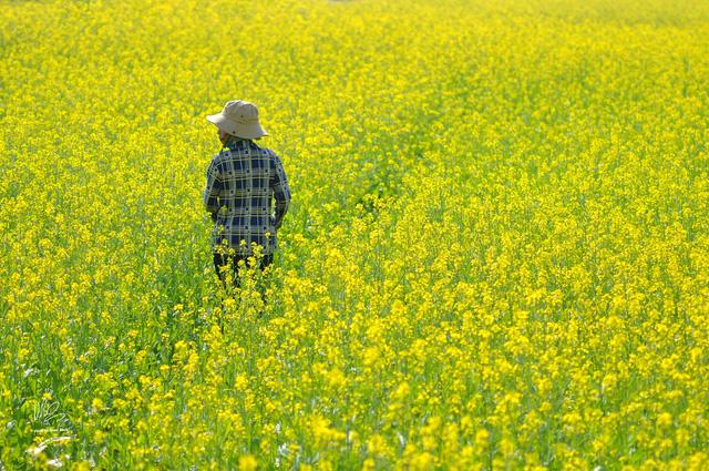 Ngắm cánh đồng hoa cải vàng nở rộ ở ngoại thành Hà Nội - Ảnh 11.