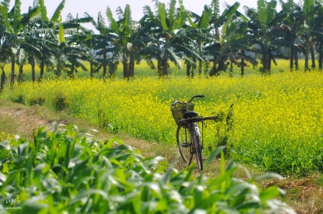 Ngắm cánh đồng hoa cải vàng nở rộ ở ngoại thành Hà Nội - Ảnh 12.