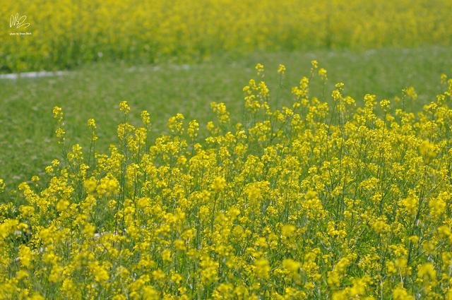 Ngắm cánh đồng hoa cải vàng nở rộ ở ngoại thành Hà Nội - Ảnh 13.