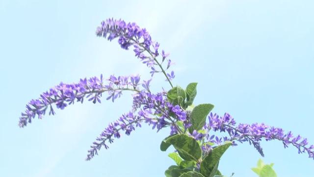 Cây mai xanh tại làng hoa Sa Đéc hút khách - Ảnh 3.