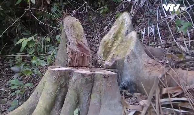 Lâm tặc đốn hạ hàng trăm cây gỗ rừng tại Thanh Hóa - Ảnh 1.