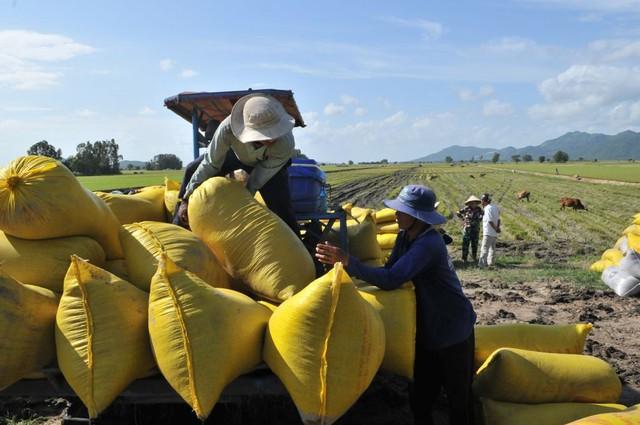 Thương lái ráo riết thu mua nhưng nông dân đã sạch bách lúa - Ảnh 1.