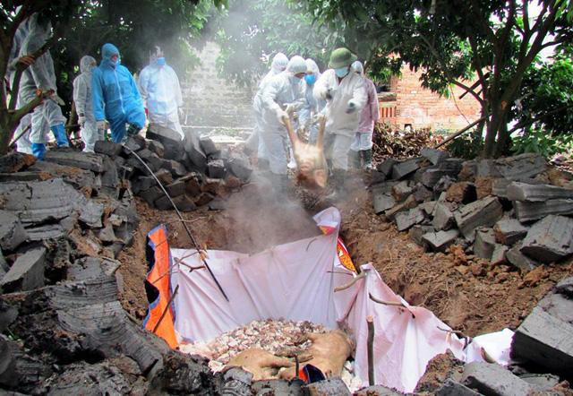 Dịch tả lợn châu Phi trở lại, Bắc Trung Bộ thiệt hại hàng chục nghìn tỷ đồng - Ảnh 1.