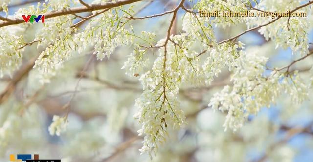 Mùa hoa sưa nở trắng trời Hà Nội - Ảnh 2.