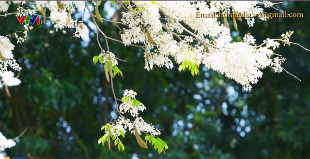 Mùa hoa sưa nở trắng trời Hà Nội - Ảnh 1.