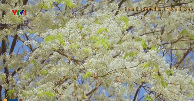 Mùa hoa sưa nở trắng trời Hà Nội - Ảnh 4.