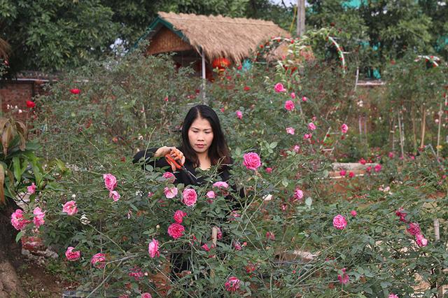Xã Đông Triều xóa đói, giảm nghèo cùng mô hình trồng hoa hồng cổ - Ảnh 1.