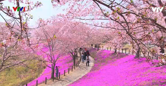 Nhật Bản rực rỡ trong sắc hoa anh đào - Ảnh 1.