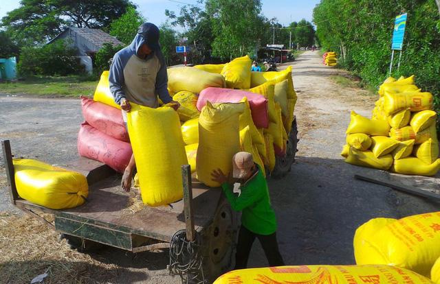 Thương lái ráo riết thu mua nhưng nông dân đã sạch bách lúa - Ảnh 2.