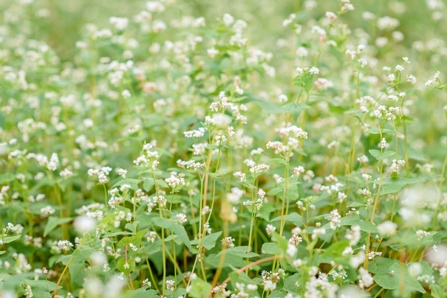 Chiêm ngưỡng hoa tam giác mạch trái mùa rực rỡ giữa lòng Hà Nội - Ảnh 5.