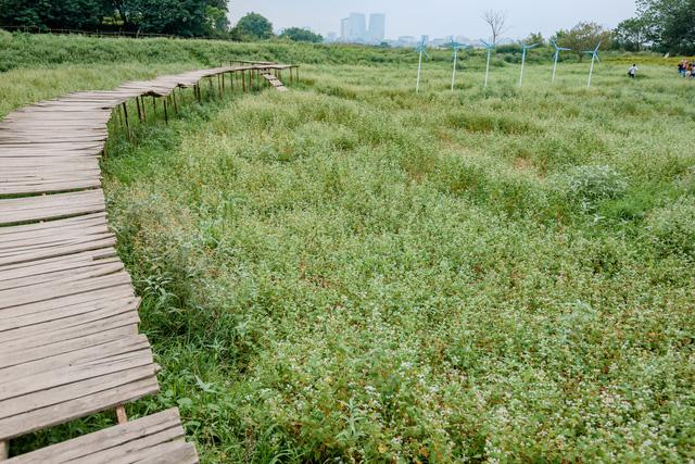 Chiêm ngưỡng hoa tam giác mạch trái mùa rực rỡ giữa lòng Hà Nội - Ảnh 2.