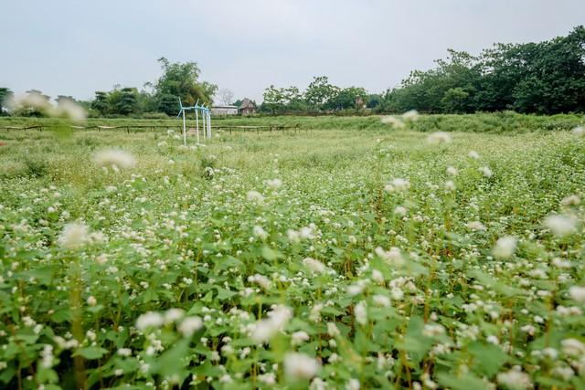 Chiêm ngưỡng hoa tam giác mạch trái mùa rực rỡ giữa lòng Hà Nội - Ảnh 1.