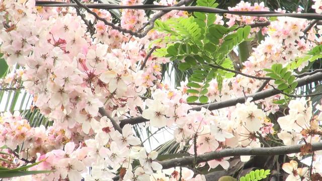 Về Đồng Tháp ngắm hoa anh đào - Ảnh 1.