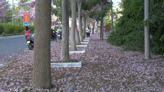 Ngập tràn sắc hoa kèn hồng tại TP.HCM - Ảnh 3.