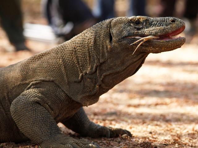 Indonesia: Hòn đảo Rồng Komodo đóng cửa do nạn săn bắt động vật - Ảnh 2.