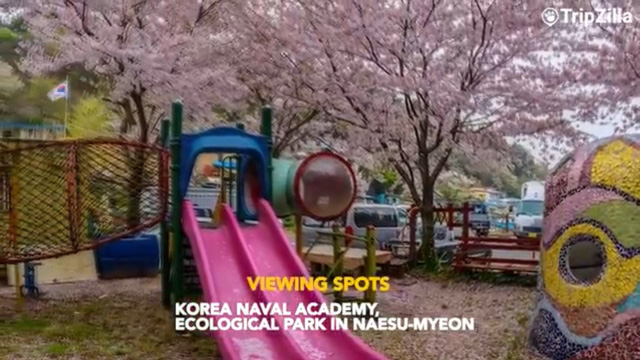 Những điểm ngắm hoa anh đào đầu mùa tại Hàn Quốc - Ảnh 2.