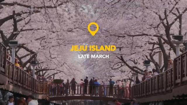 Những điểm ngắm hoa anh đào đầu mùa tại Hàn Quốc - Ảnh 1.