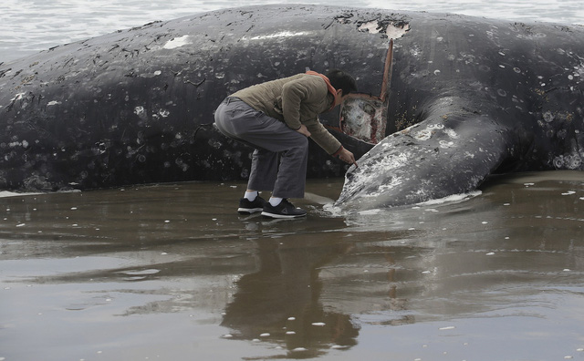 Điều tra nguyên nhân cá voi xám chết hàng loạt tại California, Mỹ - Ảnh 1.