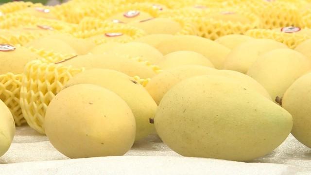 An Giang sẽ xuất khẩu xoài sang thị trường Mỹ trong tháng 6 - Ảnh 1.