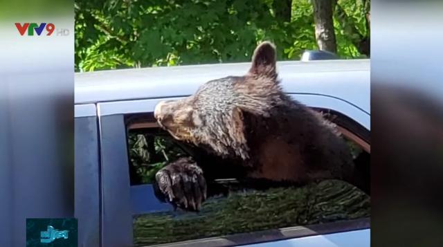 Gia đình gấu muốn… trộm xe hơi - Ảnh 2.