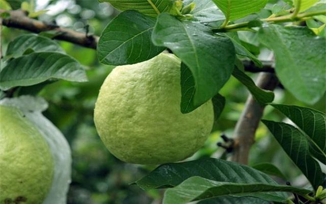 9 lợi ích sức khỏe đáng kinh ngạc từ trái ổi - Ảnh 6.