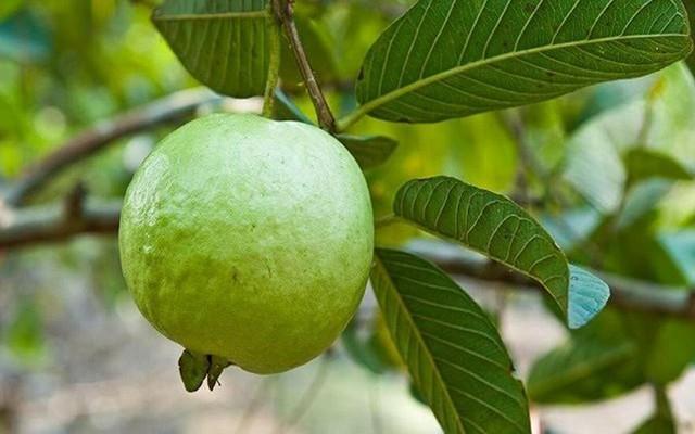 9 lợi ích sức khỏe đáng kinh ngạc từ trái ổi - Ảnh 7.