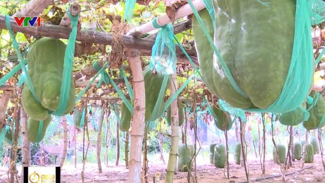 Làng trồng bí đao khổng lồ, có trái nặng tới 60kg ở Bình Định - Ảnh 1.