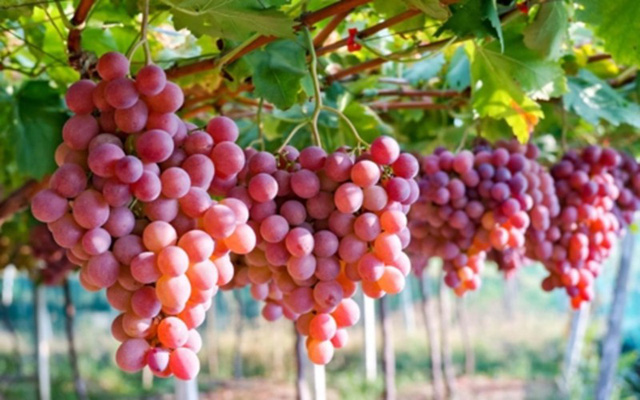 10 loại trái cây hàng đầu chống ung thư - Ảnh 8.