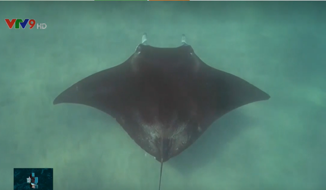 Cá đuối khổng lồ cầu cứu thợ lặn tại Australia - Ảnh 2.