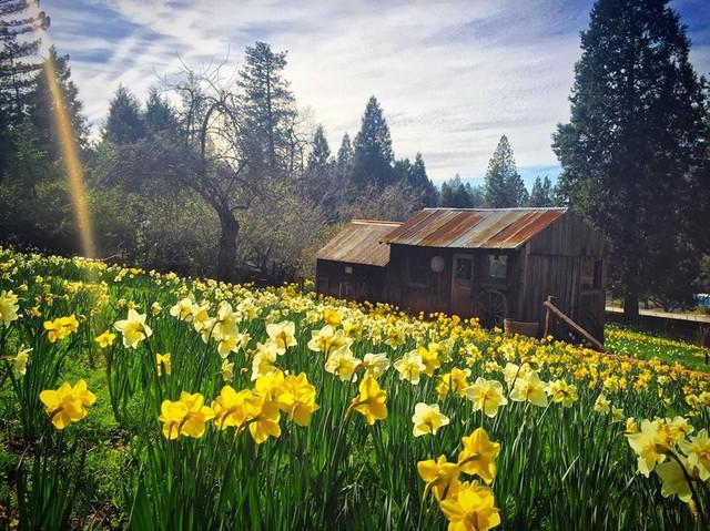 Vì quá nổi tiếng, cánh đồng hoa oải hương đẹp như mơ bị đóng cửa - Ảnh 1.