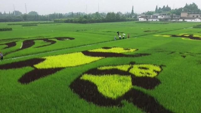 Bức tranh gấu trúc khổng lồ trên đồng lúa - Ảnh 1.