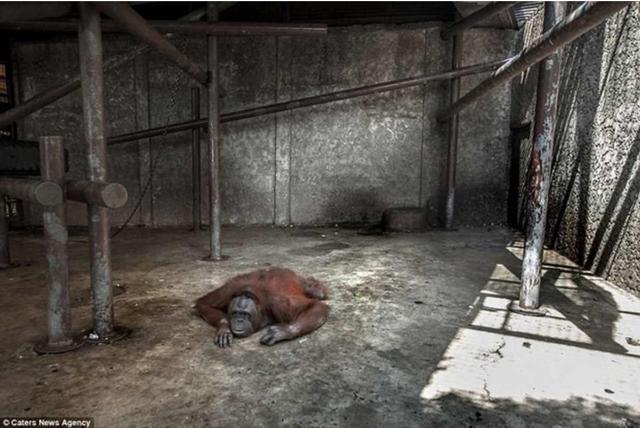 Đau lòng hình ảnh động vật bị xích, sống để mua vui cho con người - Ảnh 7.