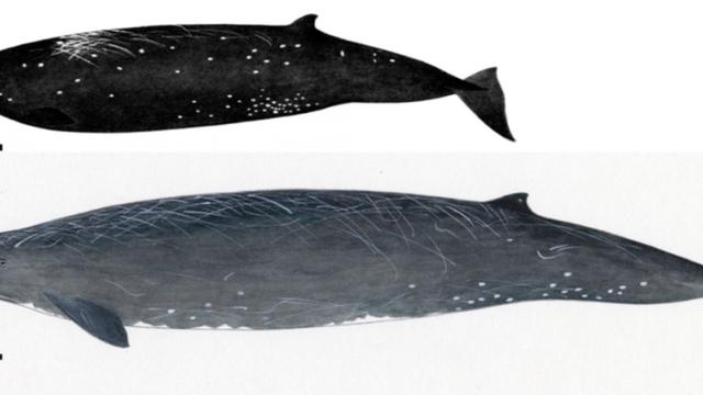 Phát hiện loài cá voi mới ở bờ biển Nhật Bản - Ảnh 2.