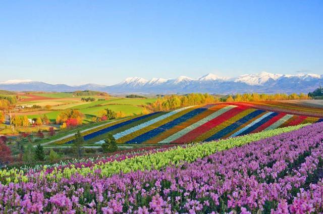 Mê mẩn vẻ đẹp của những cánh đồng hoa trên khắp thế giới - Ảnh 3.